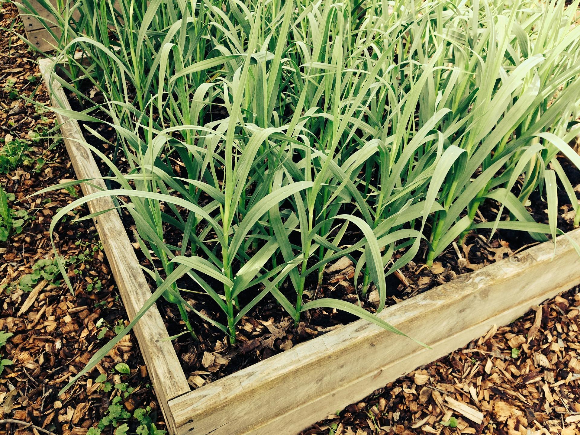 Garlic Growing UK