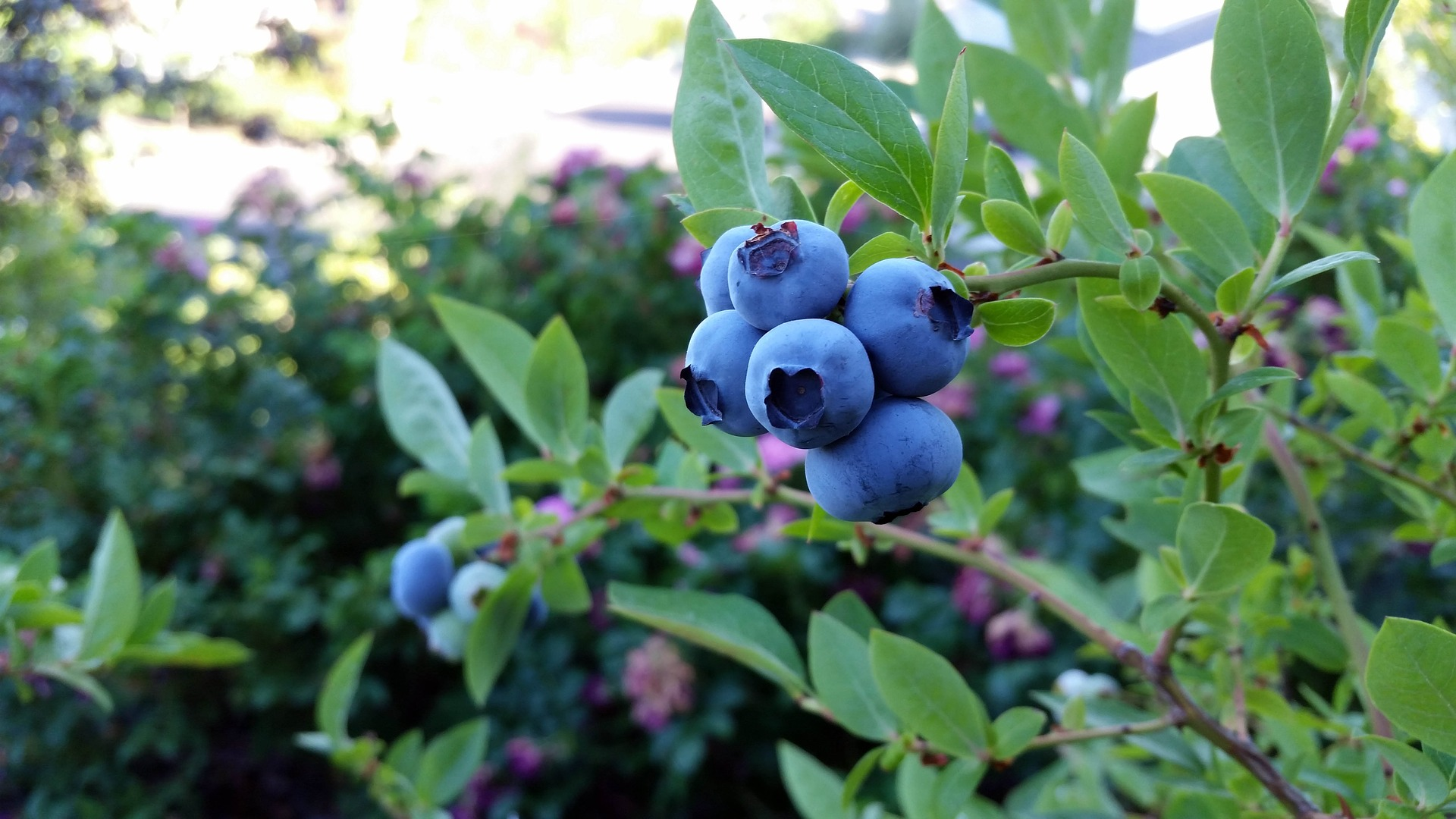 Blueberries uk grow guide