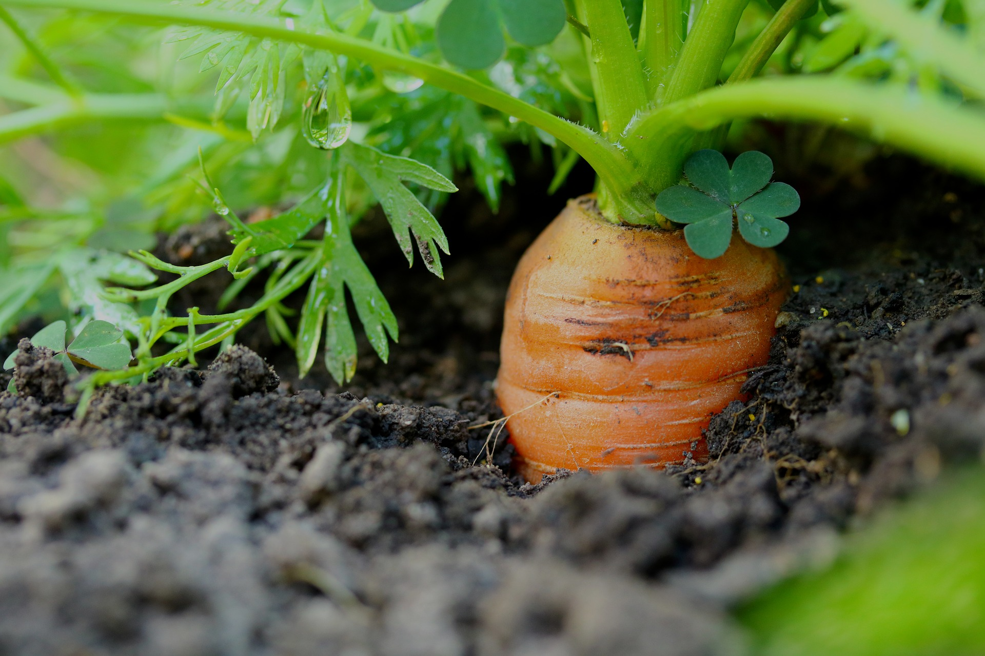 Grow carrots in UK