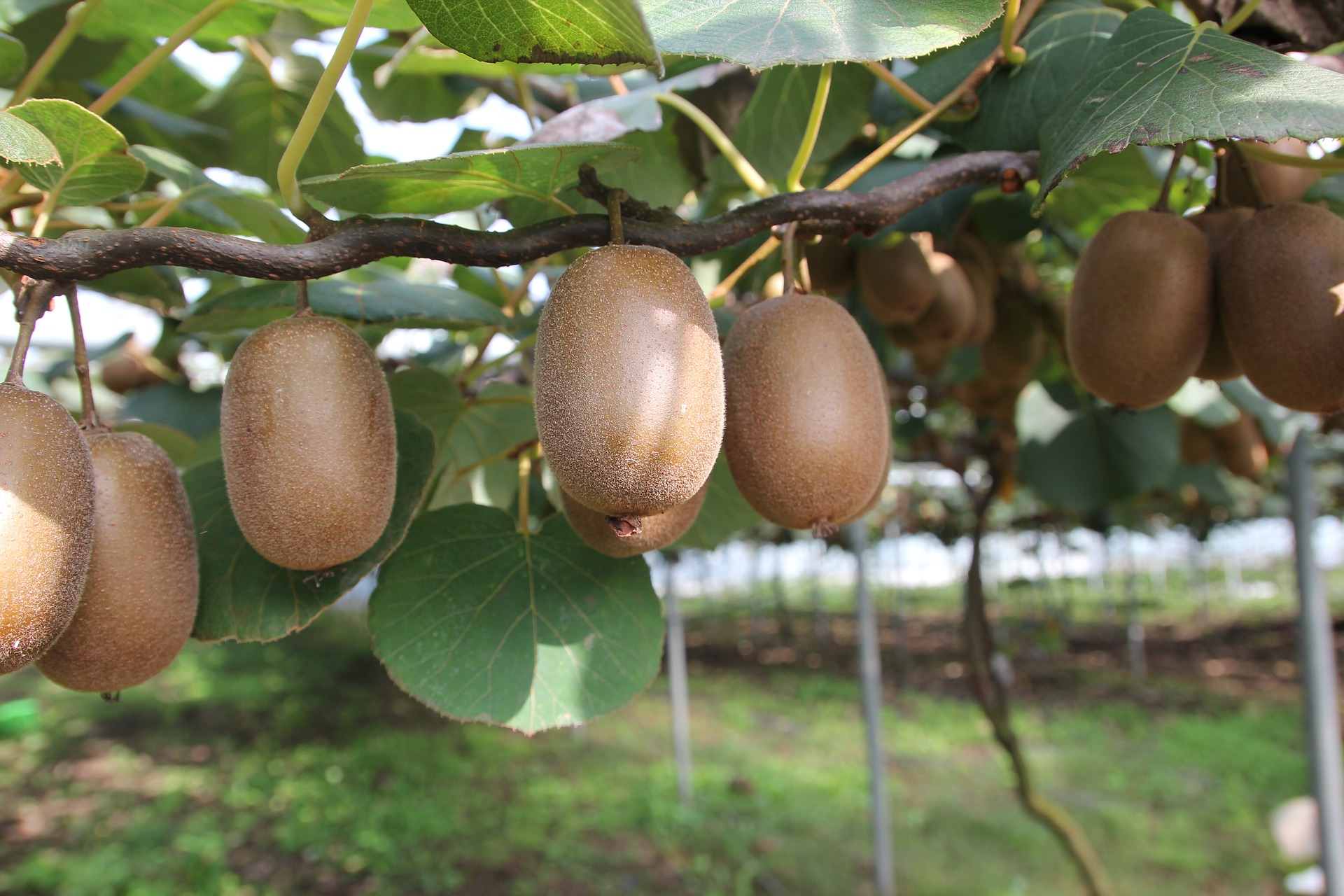Kiwi Growing Guide for UK