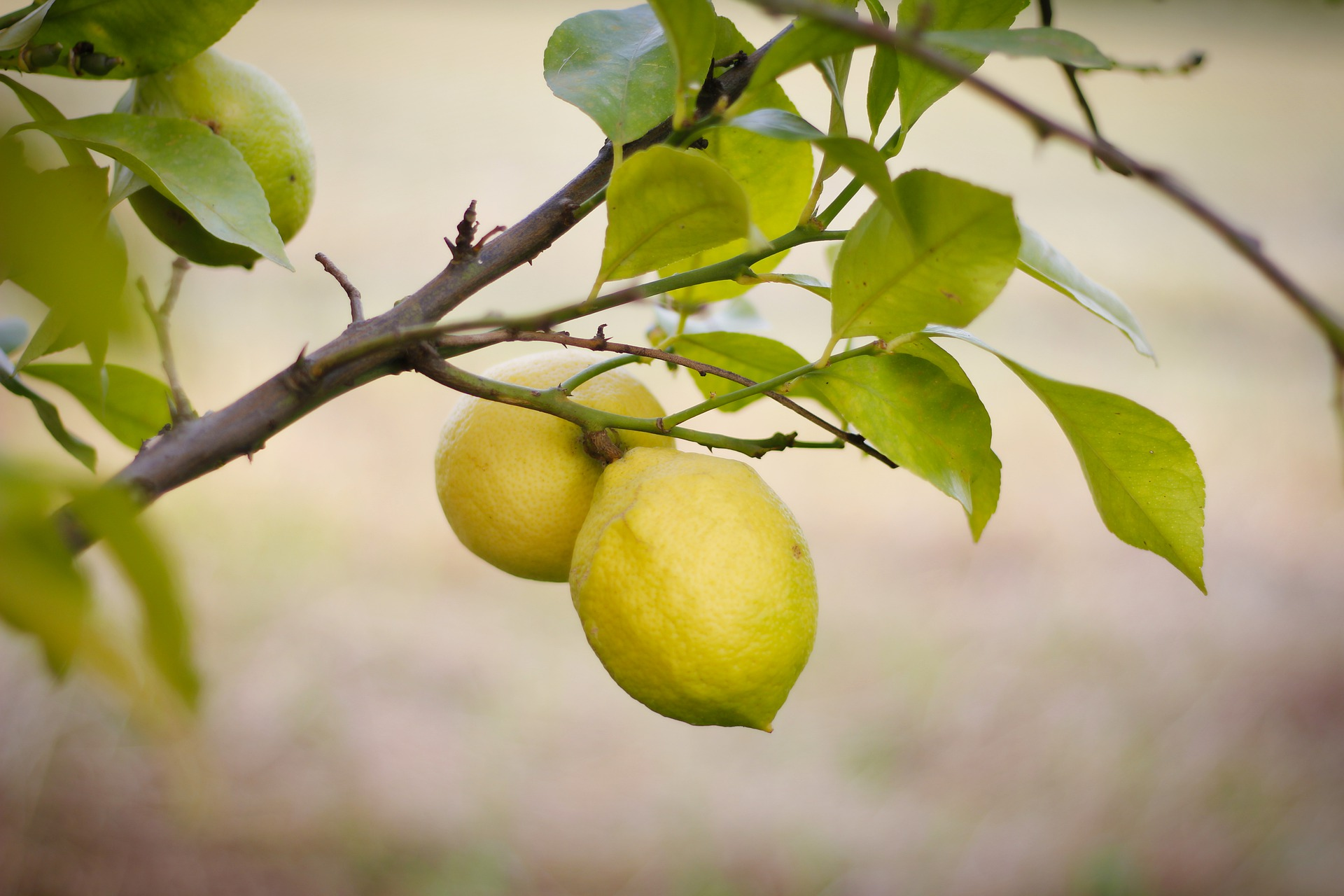 Lemons growing guide