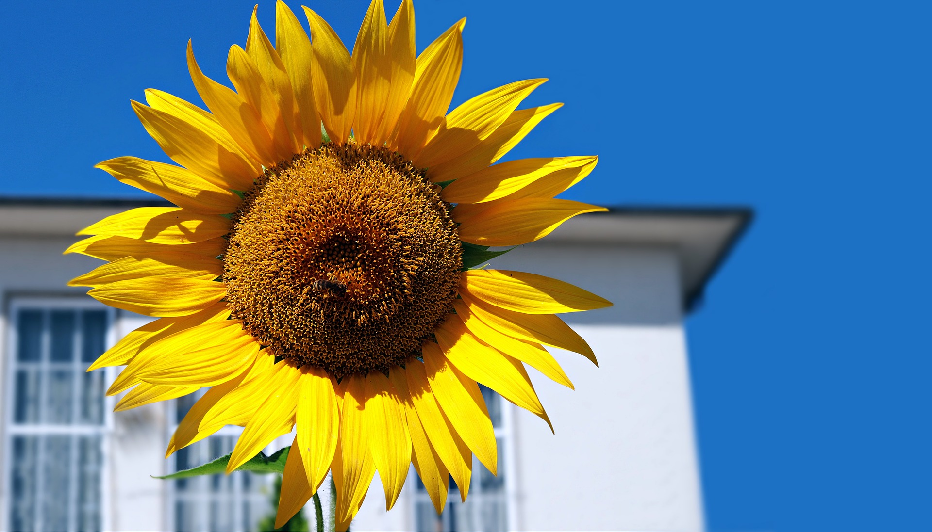 Sunflower grow in your home