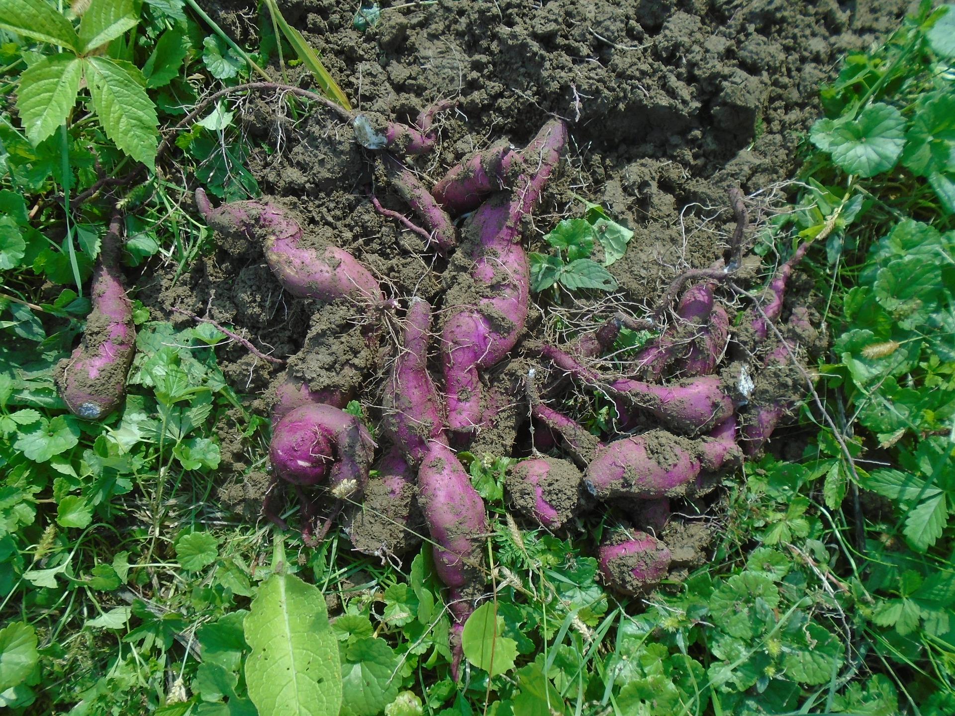 Sweet potato in UK
