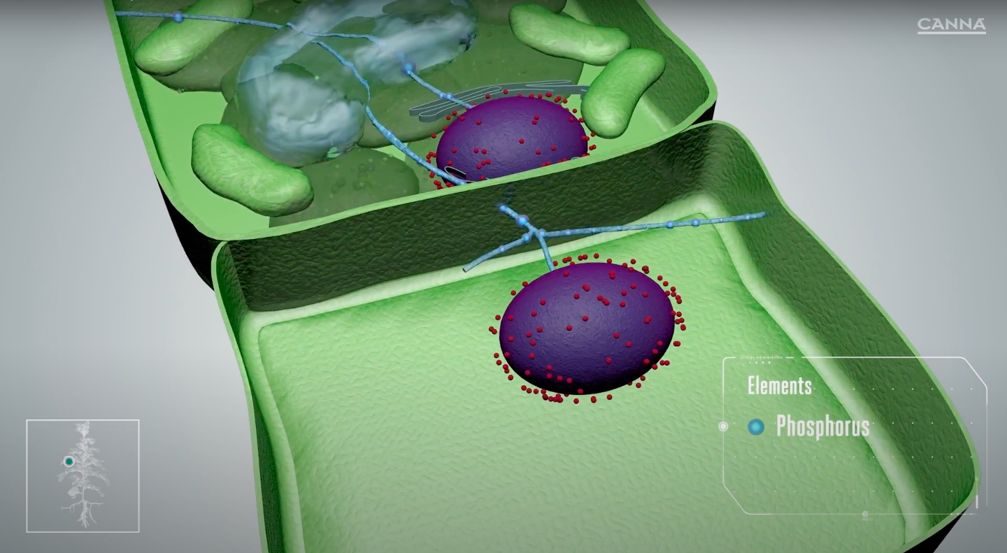 Phosphorus builds and reinforces new cell walls.