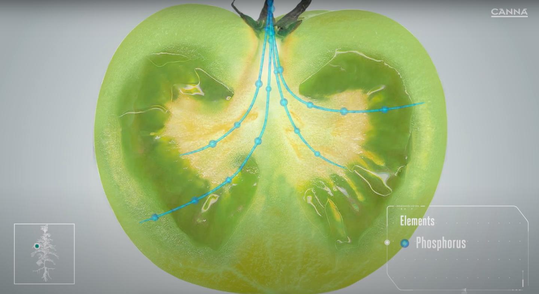 Phosphorus helps the seeds to develop