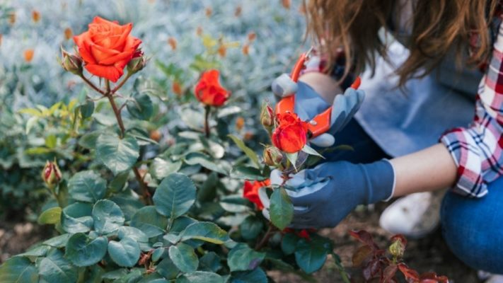 how-to-care-for-roses