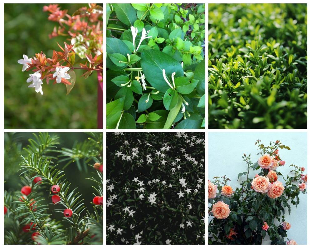 Evergreen shrubs - Abelia, Shrubby Honeysuckle, Privet, English Yew,Common Jasmine, Common Honeysuckle, Climbing Roses