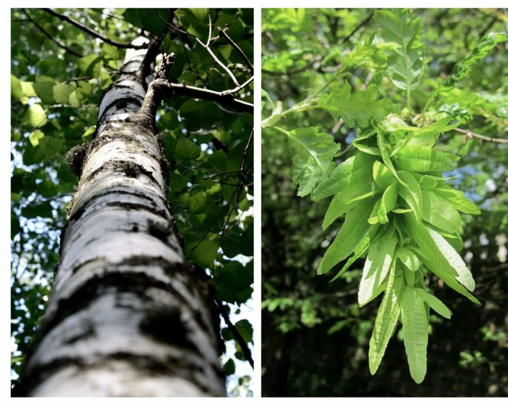 Birch and Hornbeam Tree